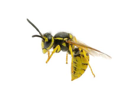 stinger: wasp isolated on white background Stock Photo