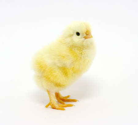 little chicken isolated on the white photo