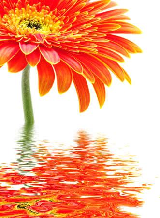 Orange gerbera flower isolated on white background  photo