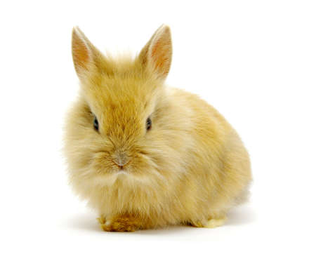 Small brown rabbit isolated on white  photo