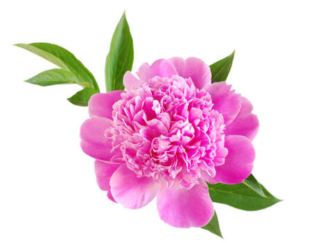 peony: pink peony flower isolated on white Stock Photo
