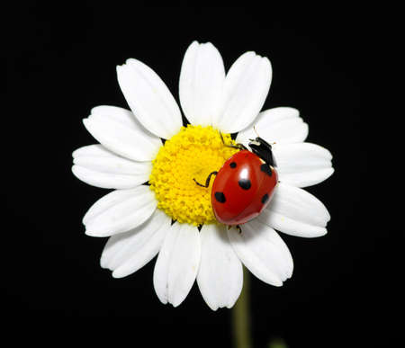The ladybug sits on a flower petal photo
