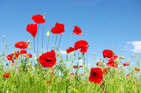 red poppies on green field: red poppies on green field Stock Photo