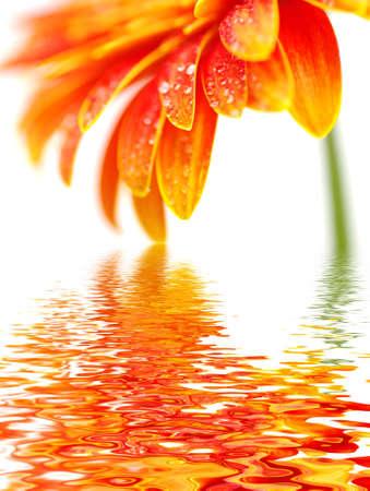 dews: Orange gerbera flower isolated on white background