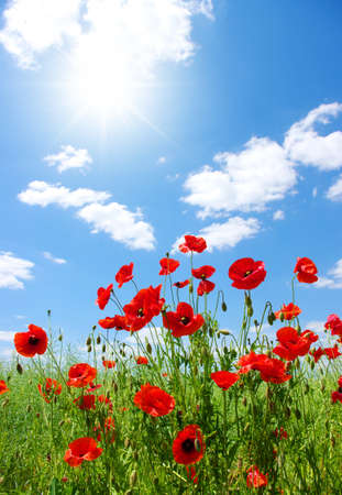 field flowers: red poppies on green field Stock Photo