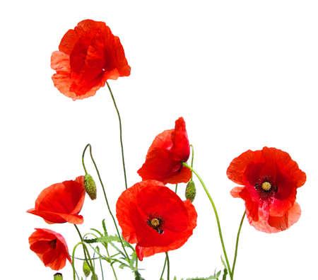 amapola: amapolas rojas aislados en blanco