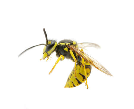 stinger: wasp isolated on white background Stock Photo