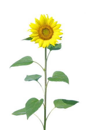 sunflower isolated: Yellow sunflower isolated on white