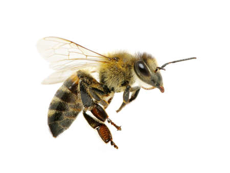 Biene auf dem weißen isoliert Standard-Bild