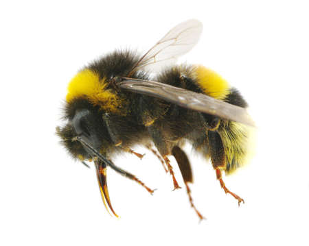bumblebee: bumblebee isolated on the white Stock Photo