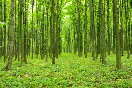 Trees in a green forest in spring Stock Photo