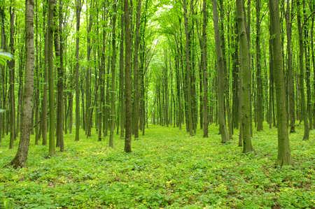 Bäume in einem grünen Wald im Frühling