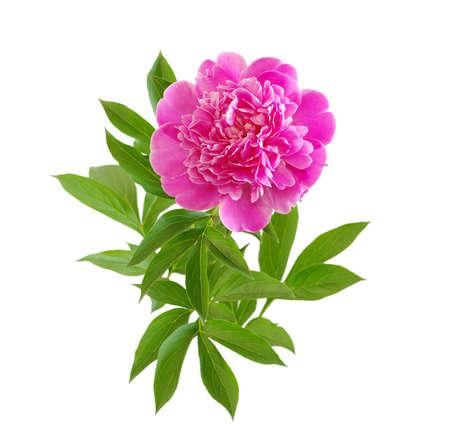 pink peony flower isolated on white photo