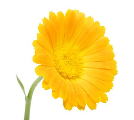 orange flower on a white background  photo
