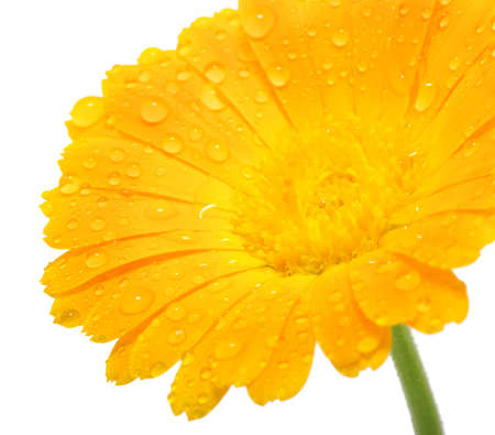 Orange flower with drops of water Stock Photo - 13174230