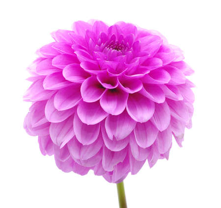 violet flower: Pink flower isolated on white background