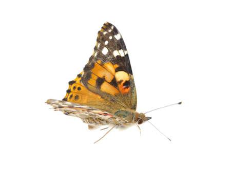 mariposas volando: Vanessa atalanta mariposa en blanco Foto de archivo