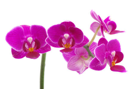 Pink orchid isolated on a white background  photo