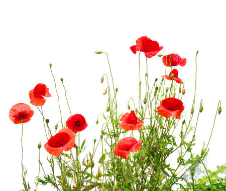 beautiful red poppies isolated on white  photo