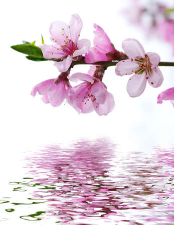 Branch with pink blossoms isolated on white background Stock Photo - 13534747