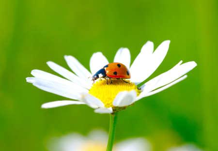 The ladybug sits on a flower photo