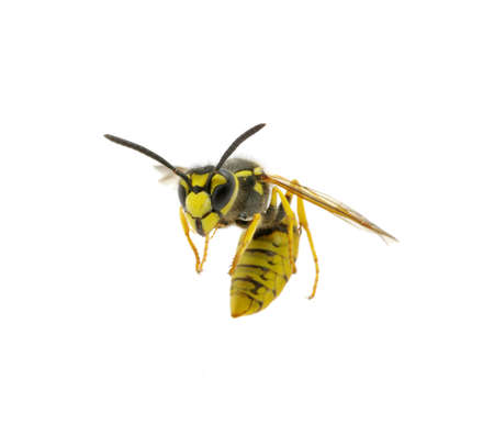 wasp isolated on white background Stock Photo