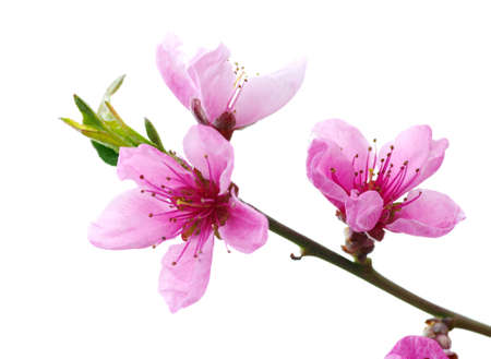 peach tree: Branch with pink blossoms isolated on white background