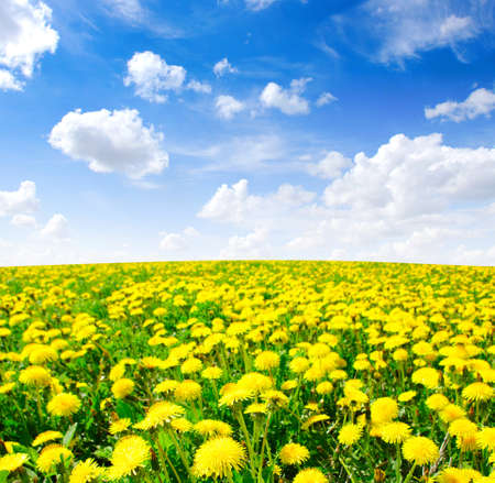 yellow dandelion on meadow in spring  photo