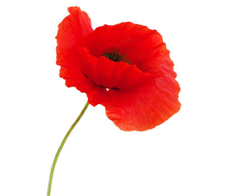 red poppies isolated on white Stock Photo - 13606269