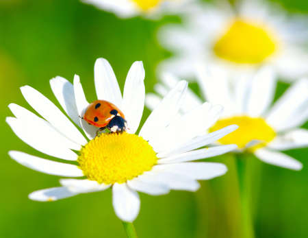 The ladybug sits on a flower