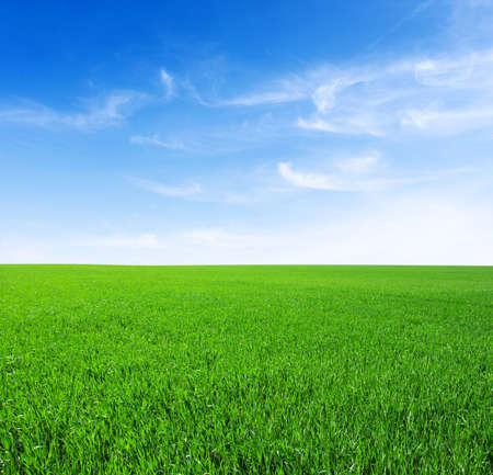 on the sky background: Field of green grass and sky