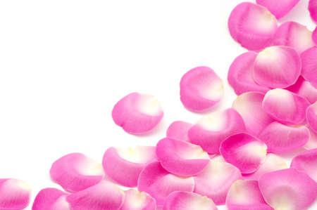 pink rose petals isolated on white  photo