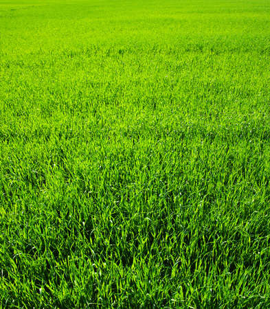 Background of a green grass. Texture green lawn  Stock Photo