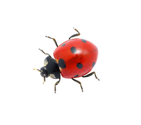 Ladybug isolated on the white photo