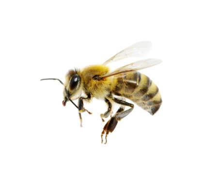 abeille isolée sur le blanc