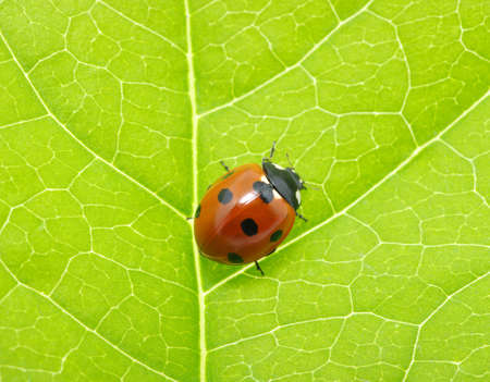 ladybug on a green leaf texture photo
