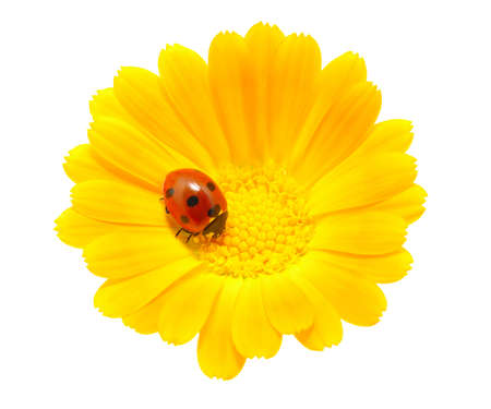 ladybug on an orange flower photo