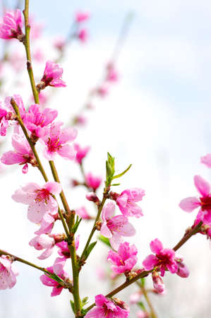 apricot tree: Branch with pink blossoms isolated on white background