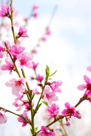 fleurs de cerisiers: Direction de fleurs roses isol�es sur fond blanc