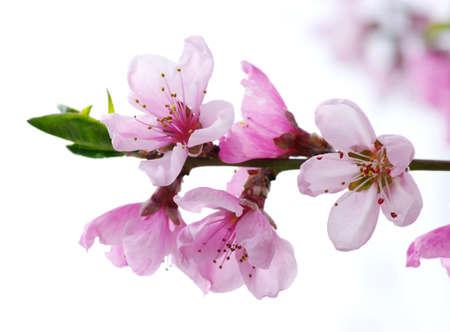 arbol de cerezo: Rama con flores de color rosa sobre fondo blanco Foto de archivo