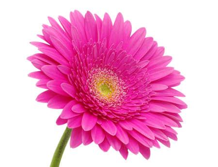 près d'une belle fleur gerbera