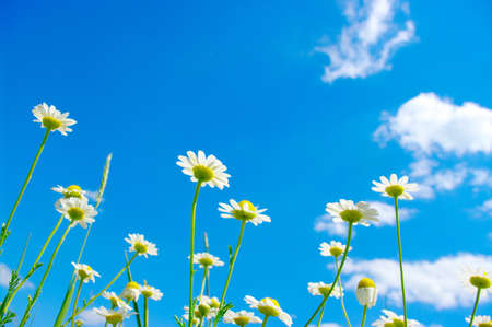 white camomile on blue sky background  photo