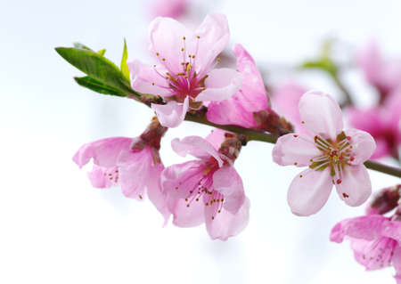 flor de durazno: Rama con flores de color rosa aisladas sobre fondo blanco Foto de archivo
