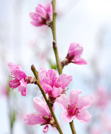 apple blossom: Branch with pink blossoms isolated on white background