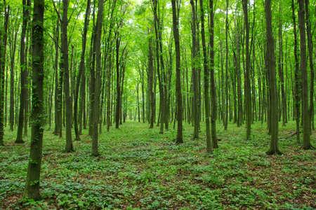 봄에 녹색 숲의 나무