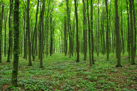 Trees in a green forest in spring photo