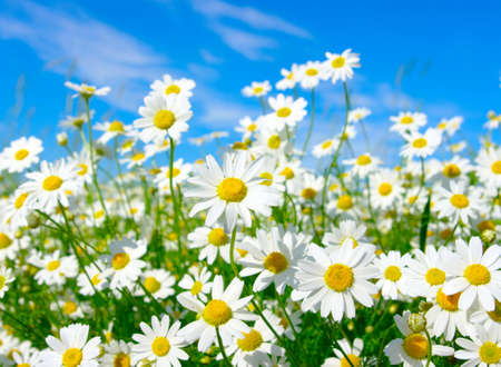 white daisies on blue sky background  photo