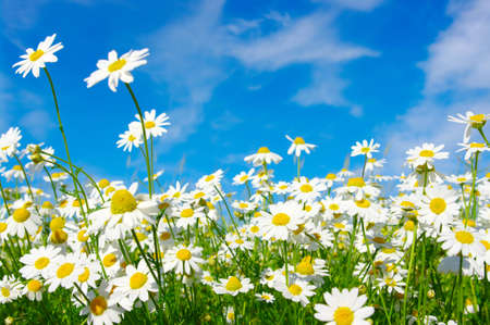 daisy field: white daisies on blue sky background