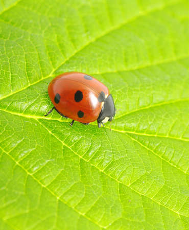 ladybug sitting on a green leaf photo