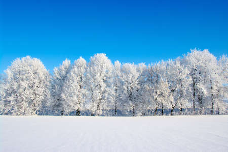 winter field: Frosted trees against a blue sky Stock Photo